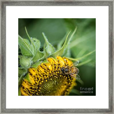 Bee Collecting Pollen On A Sunflower Framed Print