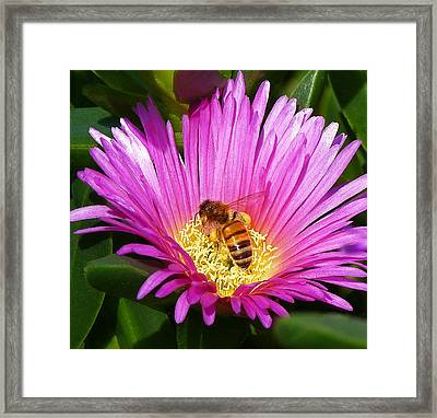 Bee Collecting Pollen On Pigface Flower Framed Print