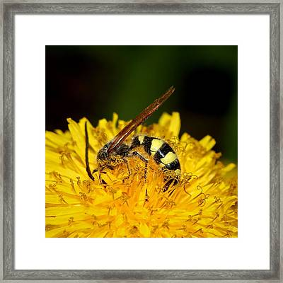 Bee Diving In Yellow Dandelion Flower Framed Print
