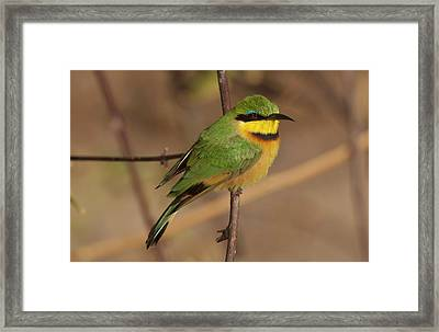 Bee Eater Posed On Branch, Botswana Framed Print