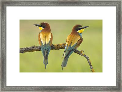 Bee-eaters Couple Framed Print by Guido Montanes Castillo