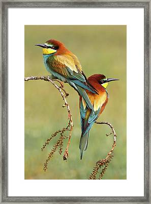 Bee-eaters In Love Framed Print