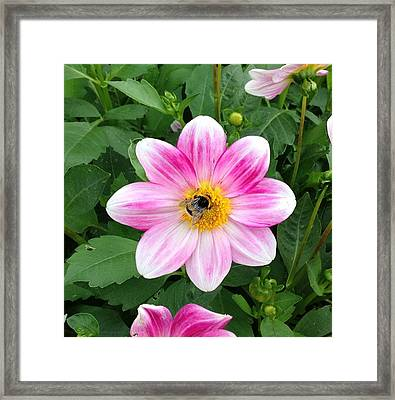 Bee Enjoying Flower Framed Print