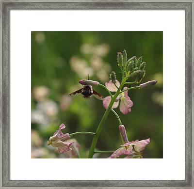 Framed Print featuring the photograph Pink Mustard Flower by Adria Trail