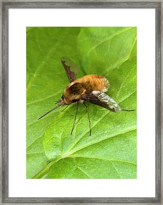 Bee-fly Framed Print