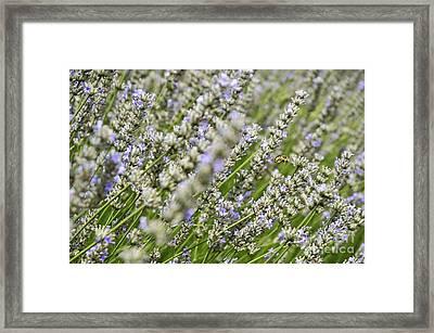 Bee Gathering Nectar From Lavender Flower Framed Print