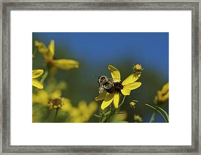 Framed Print featuring the photograph Bee Good - Bee On Yellow Wildflowers by Jane Eleanor Nicholas