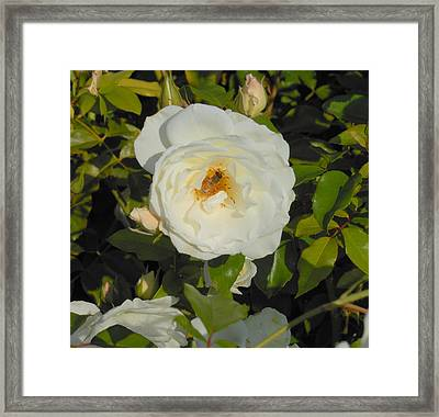 Bee In A White Rose Framed Print by Kay Gilley