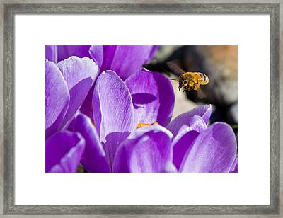 Framed Print featuring the photograph Bee In Flight by Bob Noble Photography
