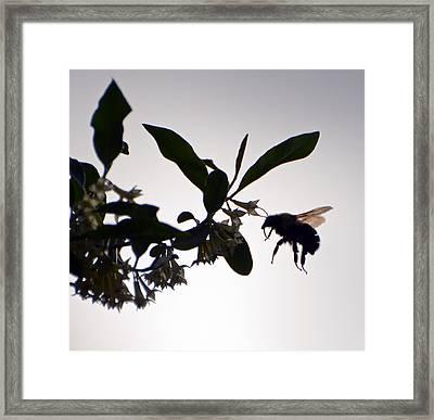 Bee In Flight  Framed Print by Kerri Farley