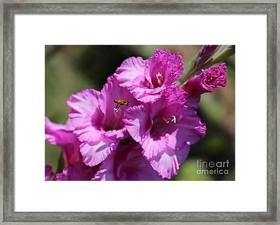 Bee In Pink Gladiolus Framed Print by Carol Groenen
