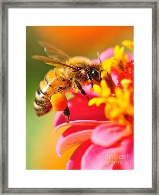 Bee Laden With Pollen Framed Print