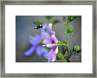 Bee Lavender Framed Print by Nava Thompson