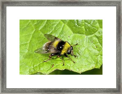 Bee-mimic Hoverfly Framed Print