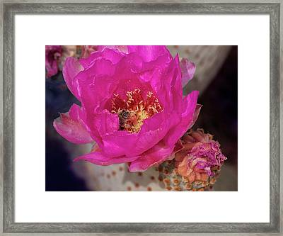 Bee On A Beavertail Framed Print