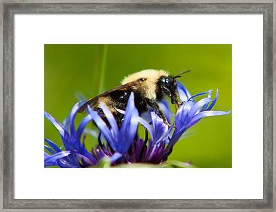 Bee On A Blue Flower Framed Print by Matt Dobson