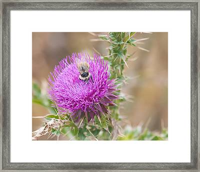Bee On A Thistle Flower Framed Print