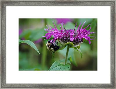 Bee On Bee Balm Framed Print by Robert  Moss