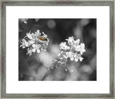Bee On Black And White Flowers Framed Print