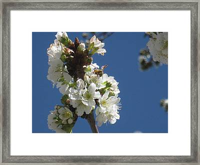 Bee On Cherry Blossoms Framed Print