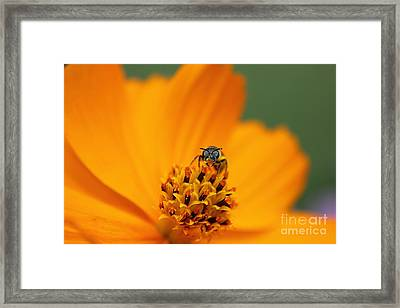 Bee On Cosmo Framed Print by Lisa L Silva