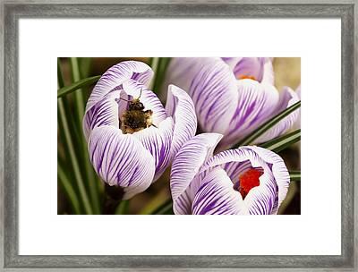 Bee On Crocus Framed Print