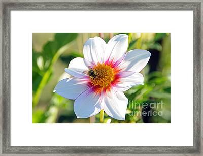 Bee On Dahlia Framed Print