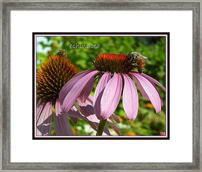 Framed Print featuring the photograph Bee On Echinacea by Heidi Manly