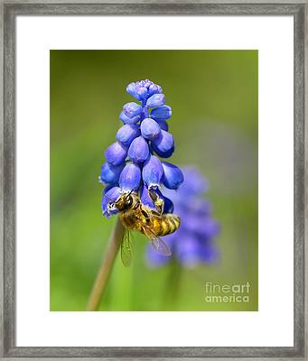 Bee On Grape Hyacinth Framed Print by Sharon Talson