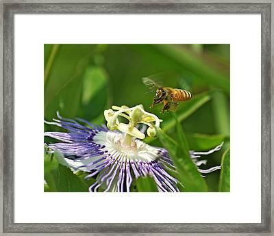 Bee On Passionflower Framed Print