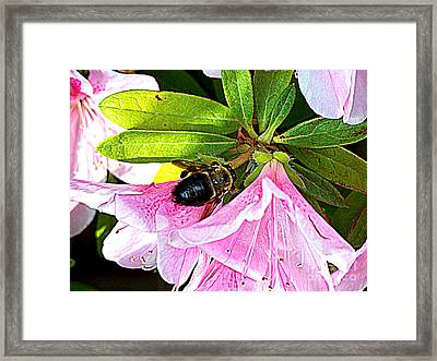 Bee On  Pink Azalea Framed Print by Kathy  White