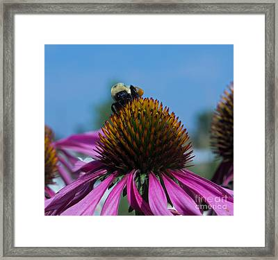 Bee On Purple Coneflowers Framed Print