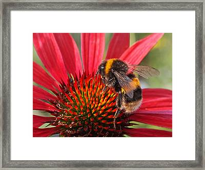 Bee On Red Coneflower 2 Framed Print by Gill Billington