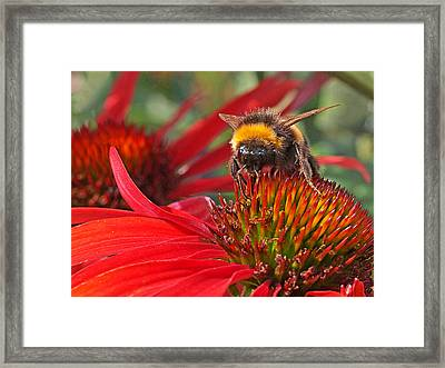 Bee On Red Coneflower Framed Print by Gill Billington