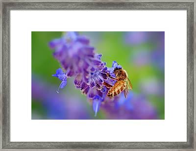 Bee On Russian Sage Framed Print by Nikolyn McDonald