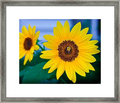 Bee On Sunflower Framed Print by Michael Fisher
