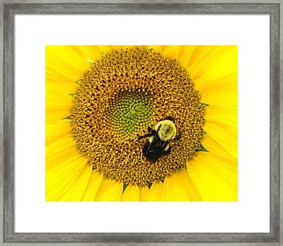 Bee On Sunflower Framed Print