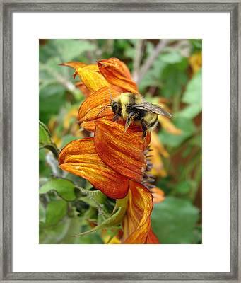 Bee On Sunflower Framed Print by Ramona Johnston
