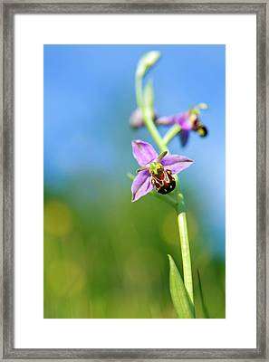 Bee Orchid Flower Framed Print by Alex Hyde