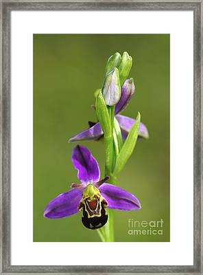 Bee Orchid Flower Framed Print