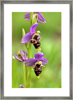 Bee Orchid (ophrys Orphanidea) In Flower Framed Print by Bob Gibbons