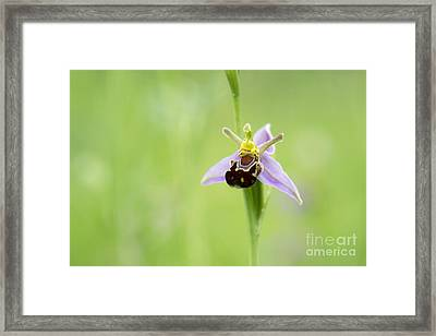 Bee Orchid Framed Print by Tim Gainey