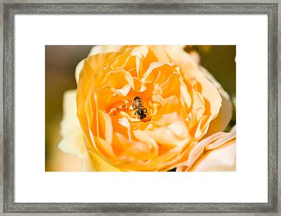 Bee Pollinating A Yellow Rose, Beverly Framed Print by Panoramic Images