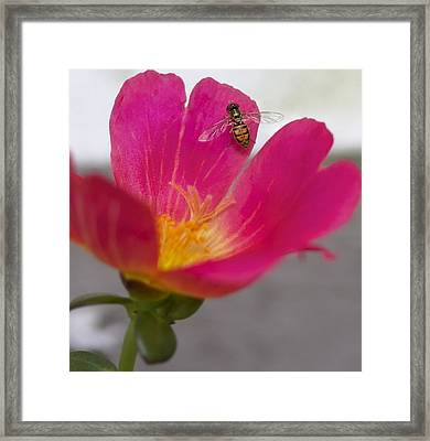 Bee Resting On A Pink Flower Framed Print