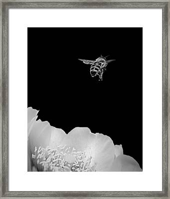 bee rising #2 B/W Framed Print by Len Romanick