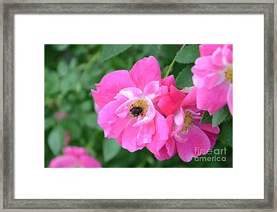 Bee Rosy Framed Print