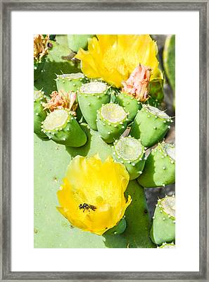 Bee Visits Cactus Blossom Framed Print by Wally Taylor