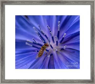 Bee - Wildflower - Chicory Framed Print by Henry Kowalski