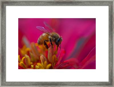 Bee Within Flower Framed Print by Sarah Crites