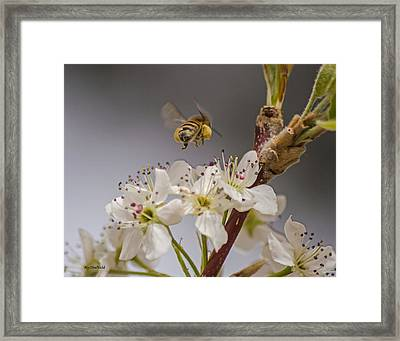 Bee Working The Bradford Pear 2 Framed Print
